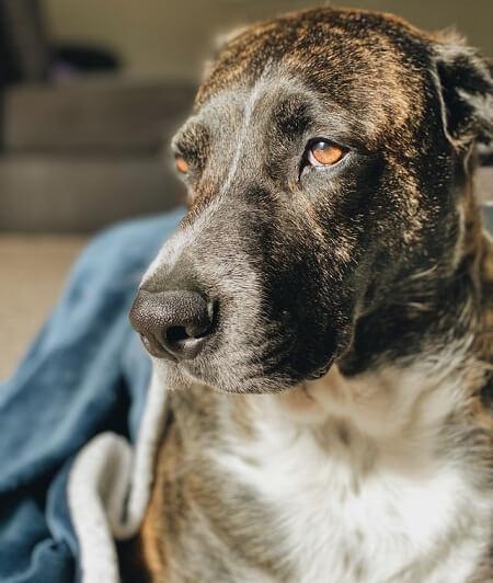 Grand chien : quelle espérance de vie ?