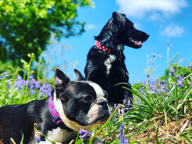 Deux chiens de races différentes qui s'entendent bien