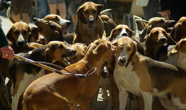 Meute de chiens de chasse