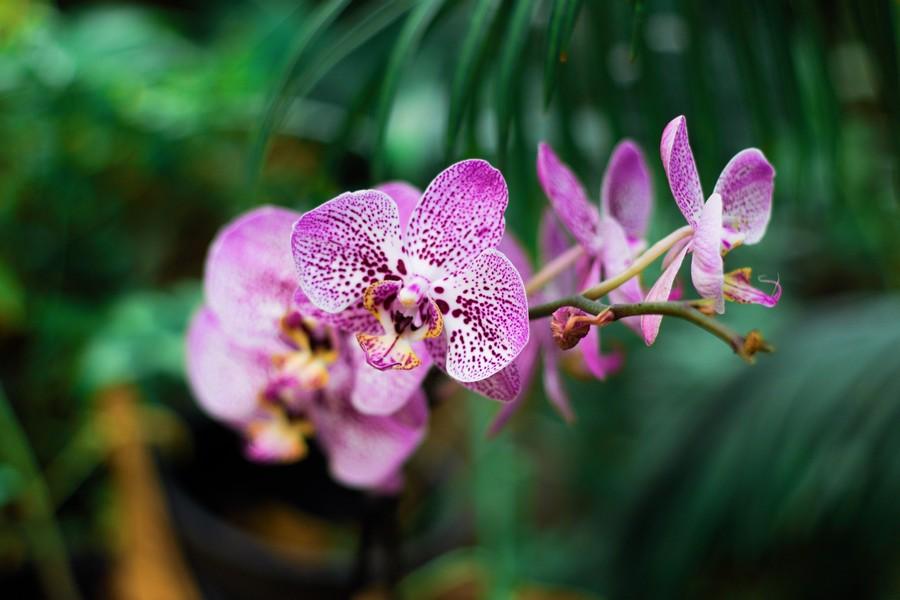 feuilles d'orchidée rose